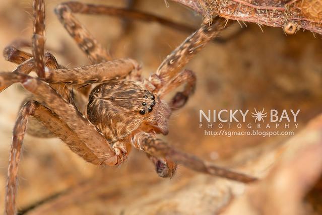 Huntsman Spider (Sparassidae) - DSC_5884