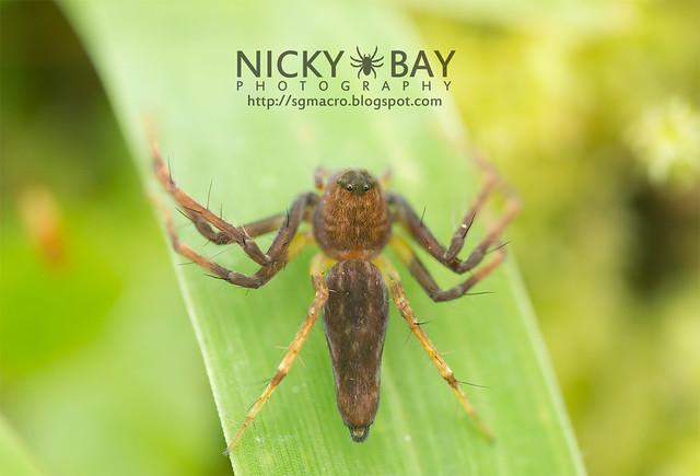 Lynx Spider (Oxyopidae) - DSC_5665
