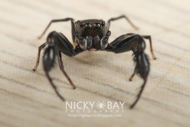 Jumping Spider (Harmochirus brachiatus) - DSC_5520