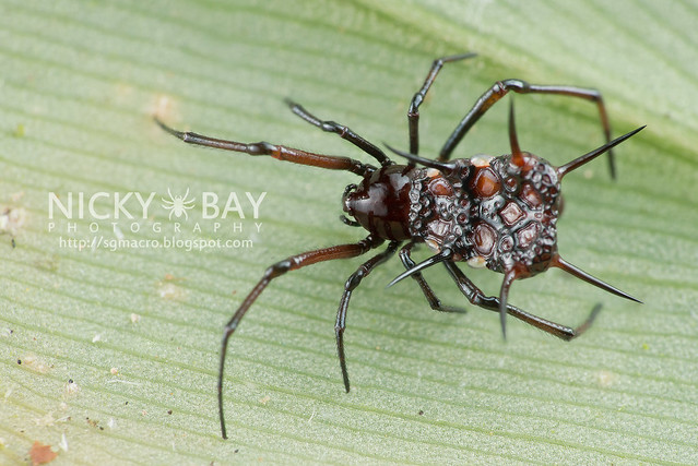 Comb-Footed Spider (Theridiidae) - DSC_5325
