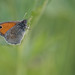 Coenonympha pamphilus (Small Heath, hooibeestje)