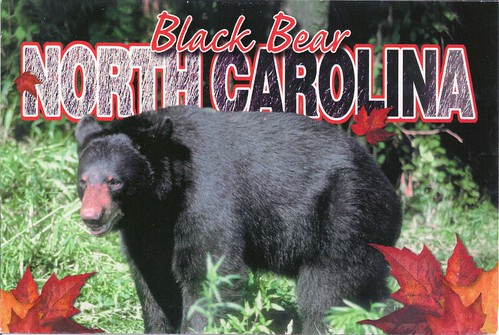 North Carolina Black Bear