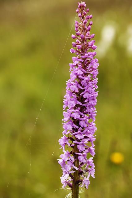 gymnadenia conopsea/ orchis moucheron/Orchidacées