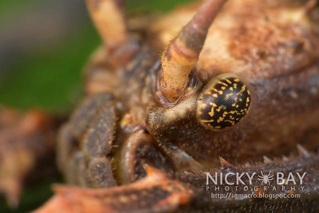 Stick Insect (Phasmatodea) - DSC_9813