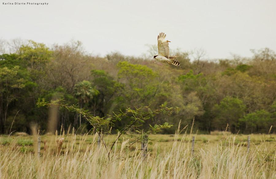 Halcón Guaicurú / Laughing Falcon, with prey.