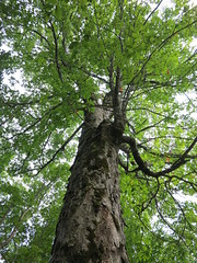 woodland, branch, tree, old-growth forest, trunk, temperate broadleaf and mixed forest,