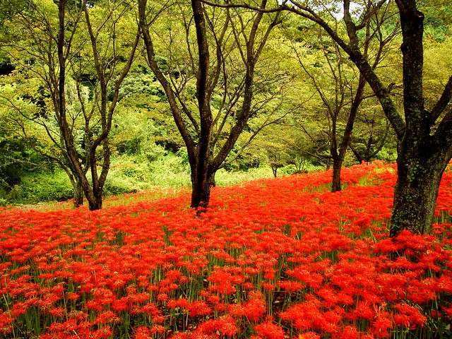 The carpet of red spider lily