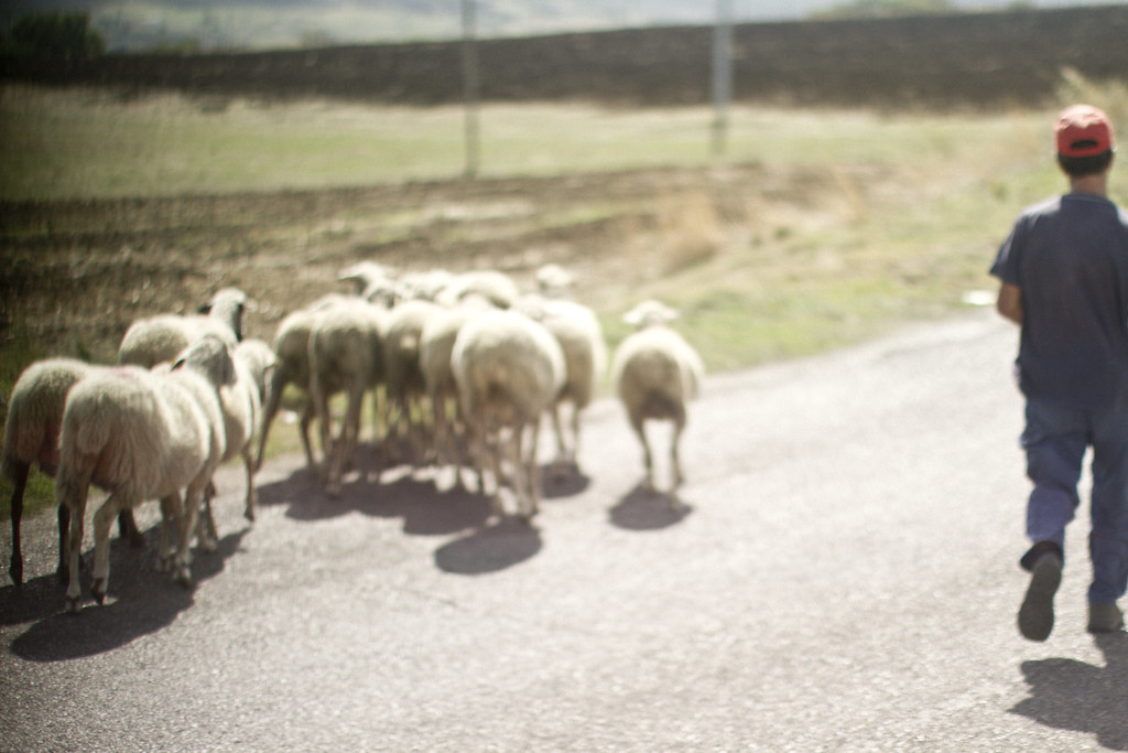 sheep herder in Basilicata, Italy1