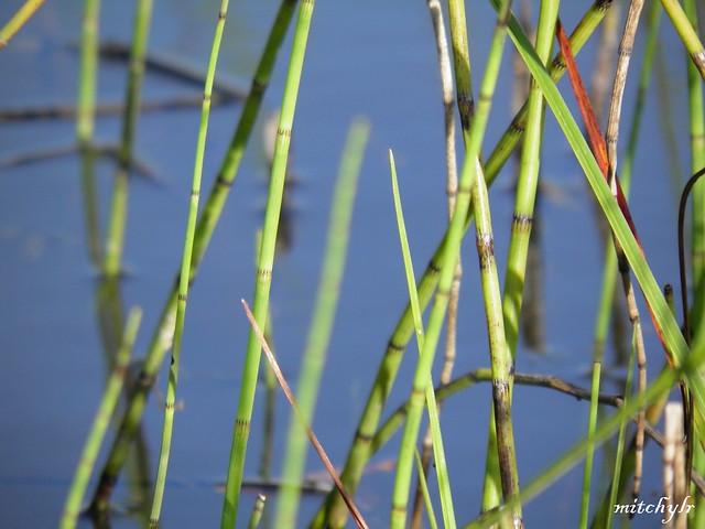 Watergrass 1