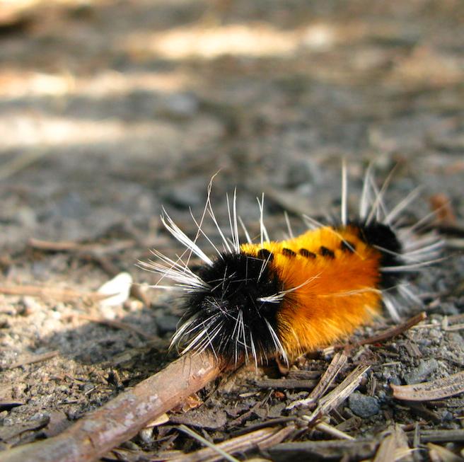 cheetopillar