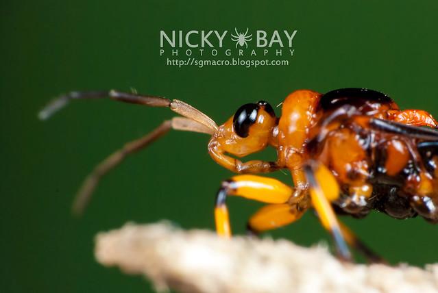 Assassin Bug (Reduviidae) - DSC_6385