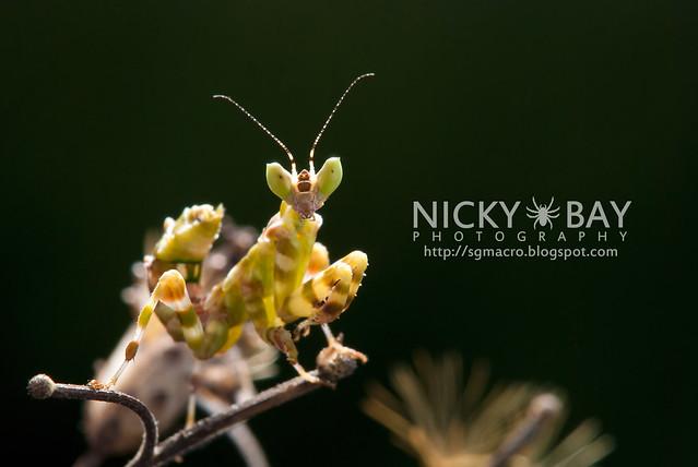 Flower Mantis (Creobotra sp.?) - DSC_5277