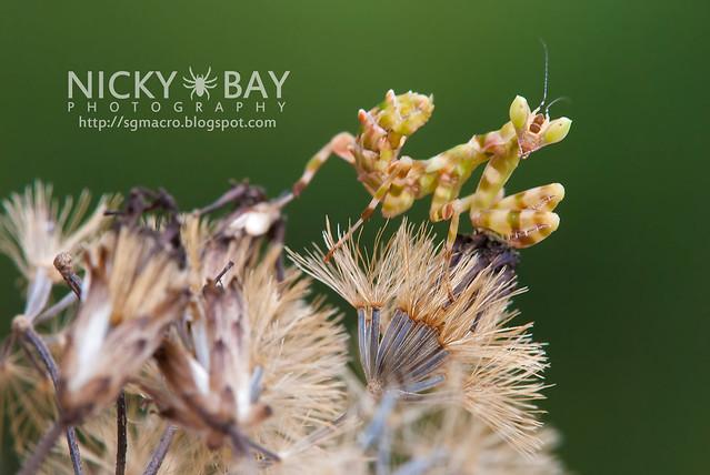 Flower Mantis (Creobotra sp.?) - DSC_5173