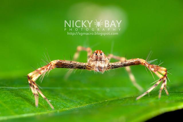 Lynx Spider (Oxyopidae) - DSC_4482