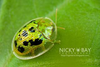 Tortoise Beetle (Cassida sp.) - DSC_4434