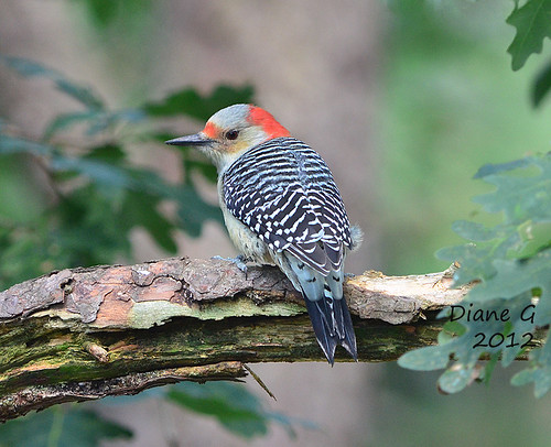 Red-bellied Woodpecker  11