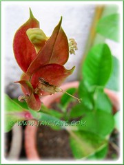 Euphorbia bracteata (Little Bird Flower, Tall Slipper Flower, Slipper Plant), a young plant with its first flowering in our garden