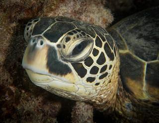Green sea turtle face portrait (Chelonia mydas)
