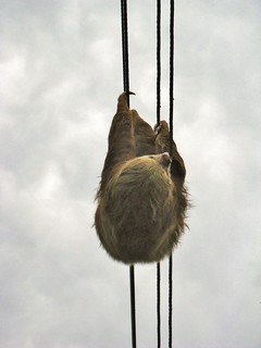 Sloth on wire, close up