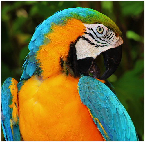 Beautiful Bird - B&G Macaw by QuakerVille