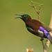 Purple - rumped Sunbird by segokavi