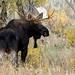 Bull Moose by Steve Gifford by Steve Gifford - IN