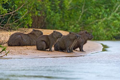 [フリー画像素材] 動物 1, 哺乳類, カピバラ ID:201210161000