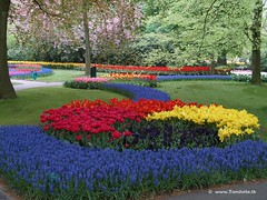 Dutch Tulips, Keukenhof Gardens, Holland - 0753 POTD