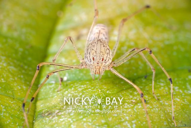 Spitting Spider (Scytodidae) - DSC_9353