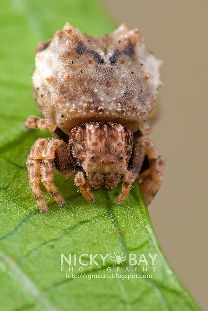 Crab Spider (Thomisidae) - DSC_8849
