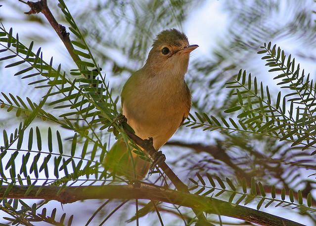 Header of African Reed Warbler
