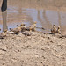 Small photo of Namaque Sandgrouse (Pterocles namaqua)