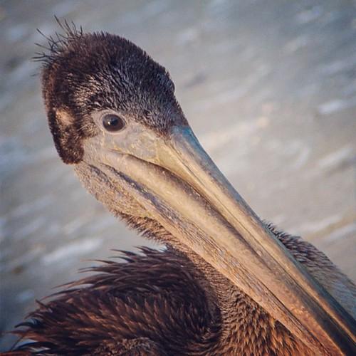 Pelican by khenney