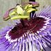 Small photo of Passiebloem Passiflora Purple Haze