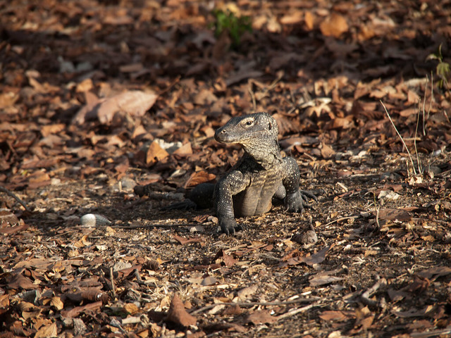 Baby Komodo dragon