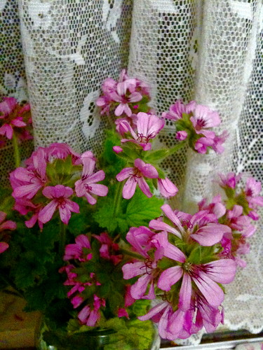 Rose scented Geranium by margoc