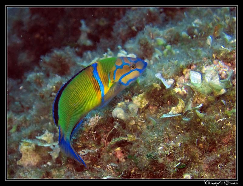 Fredis pez