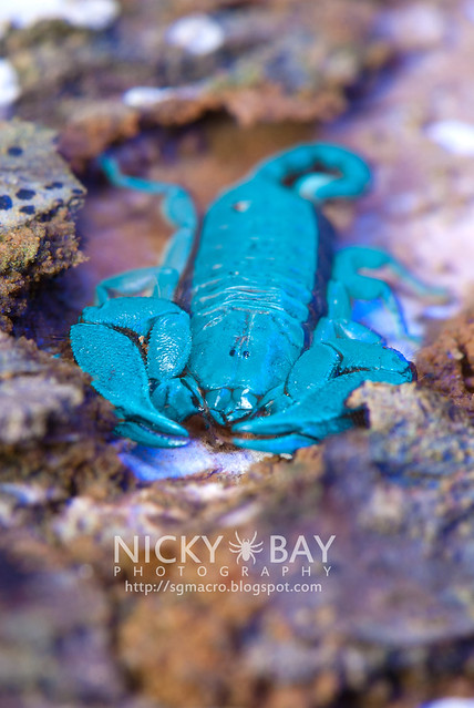 Scorpion (Liocheles australasiae?) - DSC_6036