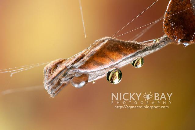 Scorpion-tailed Orb Weaver (Arachnura sp.) - DSC_4610