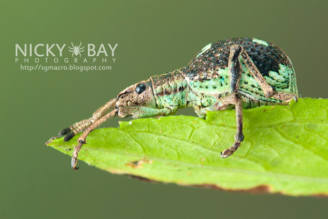 Weevil (Curculionidae) - DSC_2593