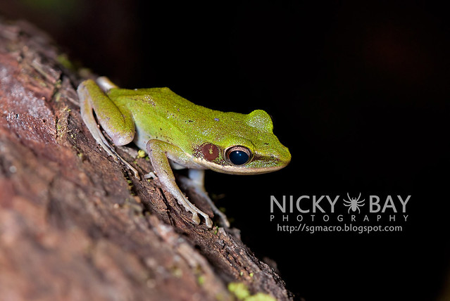 Copper-cheeked Frog? (Hydrophylax raniceps) - DSC_1914