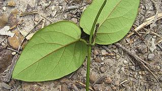 Stigmaphyllon blanchetii C. E. Anderson