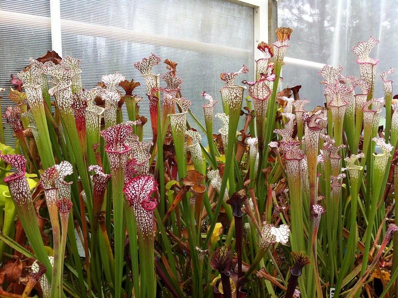 Les peut être dernière photos de leucophylla de 2012 8114691937_8bb0b42c92_c