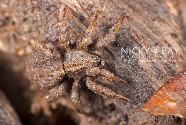 Ground Spider (Cryptothele sundaica) - DSC_0441