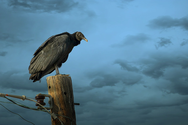 Imgen de una de las aves del Quindio: Gallinazo Comun (Coragyps Atratus)