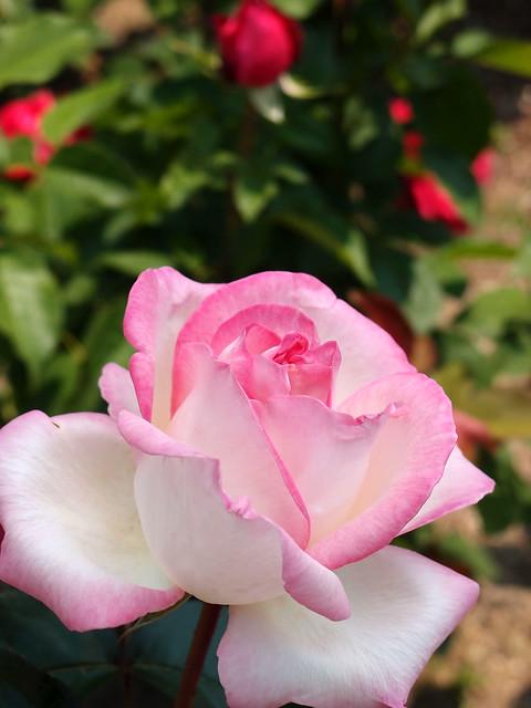 Photo:Rose,Princesse de Mpnaco,バラ,プリンセス ドゥ モナコ, By T.Kiya