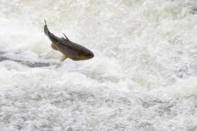 Trout on the Weir