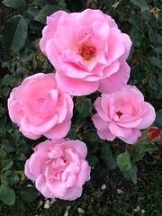 camellia sasanqua(0.0), rosa gallica(0.0), rosa wichuraiana(1.0), annual plant(1.0), shrub(1.0), garden roses(1.0), rosa 㗠centifolia(1.0), floribunda(1.0), flower(1.0), plant(1.0), rosa chinensis(1.0), pink(1.0), petal(1.0),