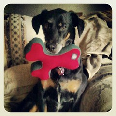 Lola's got her #planetdog #wishbone  Stay tuned to the blog for #review  #dogs #dobermanmix #dobiemix #adoptdontshop #rescue #dogstagram #dogtoy