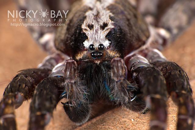 Wandering Spider (Ctenidae) - DSC_9330